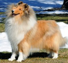 Collies are such happy dogs, as  this one illustrates. Shows google search for Champion American Rough Collies with pictures, names, and kennels.
