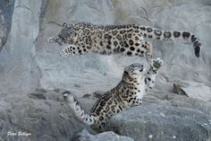 Snow Leopard Air to base, we are encountering hostiles...