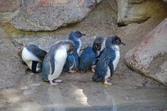Picture 5 of 5 - Little Penguin (Eudyptula Minor) Pictures & Images - Animals - A-Z Animals Arctic Animals, Zoo Animals, Cute Animals, Penguin Pictures, Animal Pictures, Animal Facts, Animal Memes, Beautiful Fairies, Beautiful Birds