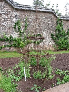 Growing sweet peas in style