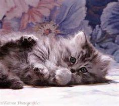 fluffy kittens - Bing images