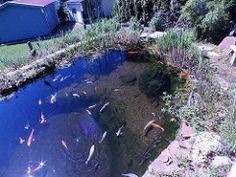 Koiteich Schwimmteich mit Regenbogenelritze (Notropis chrosomus) (Regenbogenelritzen & Springbarsche) Tags: mit schwimmteich notropis koiteich chrosomus regenbogenelritze