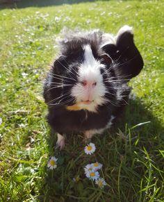 Guinea pig loves the summer ☉