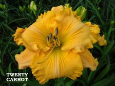 Photo of Daylily (Hemerocallis 'Twenty Carrot') uploaded by Joy