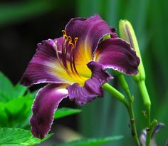It was close to or maybe it actually hit 100 degrees fahrenheit today here in Maryland. Forced myself out of the air conditioning and into nature. Purple Calla Lilies, Purple Lily, Garden Oasis, Lawn And Garden, Colorful Flowers, Beautiful Flowers, Calla Lily Tattoos, Love Lily, Purple Garden