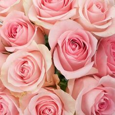 Luciana Light Pink Rose - 100 Roses