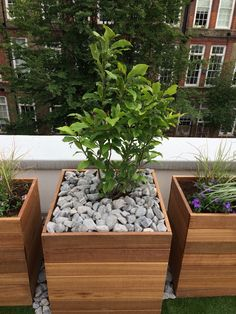 Hardwood planters, Scottish black cobbles, magnolia stellata on our roof top terrace in Chelsea #searwhittaker
