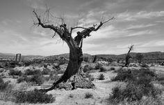 Ancient olive tree near the western film studios, Tabernas, Almeria