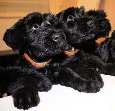 Schnauzer puppies, how adorable are these puppies? Schnauzer Noir, Black Schnauzer, Standard Schnauzer, Giant Schnauzer, Schnauzer Puppy, Cute Puppies, Cute Dogs, Dogs And Puppies, Doggies