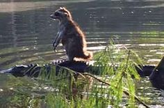 Raccoon Photographed Riding On The Back Of An Alligator Like It's NBD
