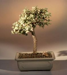 """This succulent bonsai, also known as the """"Elephant Bush"""", is native to South Africa and has leaves that are almost round and about one-third the size of the common Jade plant.  The fleshy trunk, branches, and leaves are used to store water.  Difficult to find in its variegated form and makes an excellent bonsai tree for the home or office."""