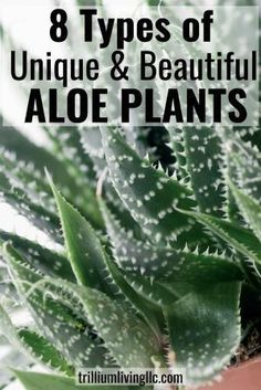 Aloe plants are more than just Aloe vera. There is a wide range of beautiful and unique plants that Growing Succulents, Planting Succulents, Succulent Gardening, Indoor Gardening Supplies, Container Gardening, Gardening For Beginners, Gardening Tips, Rose Bush Care, Garden Yard Ideas