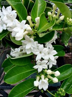 Stephanotis floribunda. Grow in a well-lit situation, but shade from direct sunlight in summer. Requires high humidity levels. Feed fortnightly in April-October with a proprietary, high-potassium, liquid houseplant food