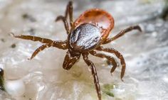 The link between tick bites and meat allergies was described in 2007 and has since been confirmed around the world.