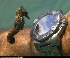 Funny pictures about A Seahorse Admiring His Own Reflection From a Divers' Watch. Oh, and cool pics about A Seahorse Admiring His Own Reflection From a Divers' Watch. Also, A Seahorse Admiring His Own Reflection From a Divers' Watch photos. Beautiful Creatures, Animals Beautiful, Cute Animals, Beautiful Ocean, Crazy Animals, Art Beauté, Fauna Marina, Sea Dragon, Tier Fotos