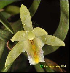 Bromheadia truncata