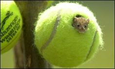 Wimbledon donates its used tennis balls to make home for endangered harvest mice!