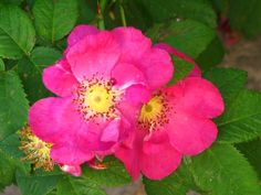 ROSES FOR YOU.. by Heli Aarniranta on ARTwanted Annual Plants, Planting Flowers, Flora, Roses, Herbs, Pink, Rose, Plants, Herb