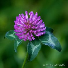 Clover by andiwolfe, via Flickr