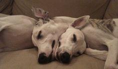 Greyhound love!!  <3