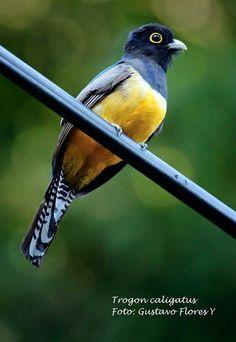 Trogon  caligatus.  Gartered Trogon. #Birds #Aves #Costaricanbirds