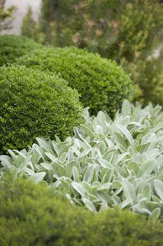 Buxbom och lammöron (Boxwood and lamb's ears) Back Gardens, Outdoor Gardens, Garden Borders, White Gardens, Plantation, Shade Garden, Dream Garden, Garden Bed, Garden Planning