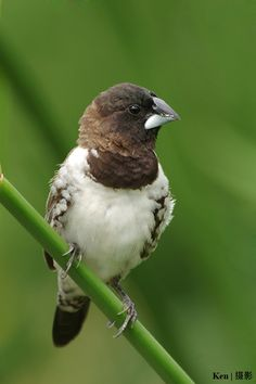 Bronze Mannikin Finch, found in grassy areas of woodlands and forest edges of Africa