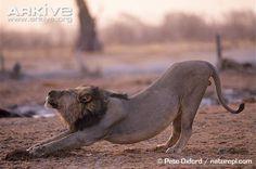 Lion photo - Panthera leo - image-G16360