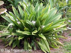 Crinum pedunculatum (river lily) - Native