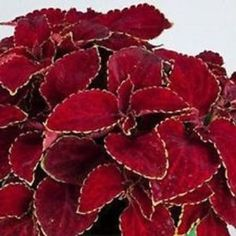 This is for 200 seeds this is from the Rainbow Coleus series this type gets about tall. This coleus likes shady spots and will add to your flower beds or these can be great for resale also. These seeds are great started inside and don't cover seeds. Foliage Plants, All Plants, Shade Plants, Vegetable Garden Planning, Seeds For Sale, Herb Seeds, Annual Flowers, Leaf Coloring, Flower Seeds