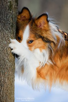 Awwwww....hide n go seek sheltie!!!!!! had one that did that & tell me a secret.. miss her forever Cheyanna ...