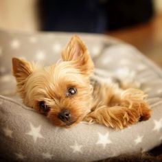 Yorkshire Terrier – Energetic and Affectionate Yorky Terrier, Yorshire Terrier, Teacup Puppies, Cute Puppies, Pet Dogs, Dog Cat, Pets, Yorkshire Terrier Puppies, Yorkie Puppy