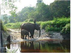 Sumatra's Tesso Nilo National Park Flying Squad elephants near Sumatera Eco Tree House