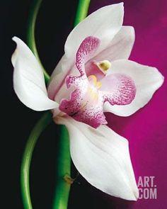 Orchid Print by Amelie Vuillon at Art.com
