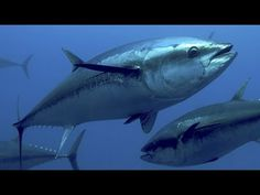 Western Atlantic Bluefin Tuna: Giants of the Canadian Maritimes Atlantic Bluefin Tuna, Tuna Fishing, Endangered Species, Marine Life, Whale, Westerns, Youtube, Animals, Pisces