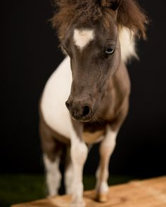 This is the smallest miniature i have ever taken a picture of, he barely reached knee hight, but what he lacked in size he really showed in personality. Miniature Horses, Equine Photography, Attitude, Personality, Take That, Miniatures, Pictures, Animals, Instagram