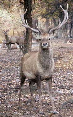 sichuan deer Gallery
