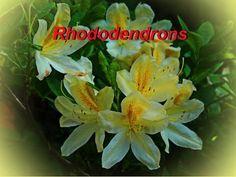 Rhododendrons  Рододендроны