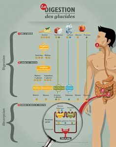 digestion des glucides                                                       …                                                                                                                                                                                 Plus