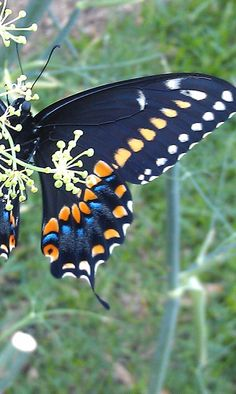 Black Swallowtail Butterfly!