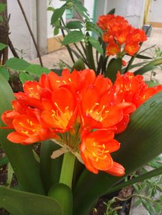 Clivia, one of Bill's favorites! Tropical and bright!