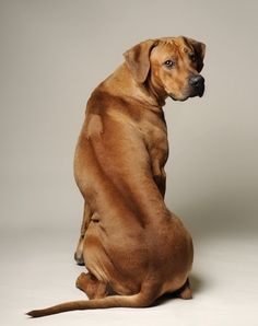 rhodesian ridgeback...I grew up with these dogs. They are amazing family pets for every age