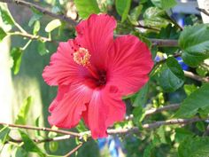 By Julie Christensen The genus Hibiscus (Hibiscus spp.) includes more than 200 species of perennials, annuals and shrubs. When you think of hibiscus, you might think of the exotic, tropical plants … Hibiscus Tree, Hibiscus Garden, Hibiscus Plant, Peonies Garden, Hibiscus Flowers, Exotic Flowers, Purple Flowers, Lilies Flowers, Gardens