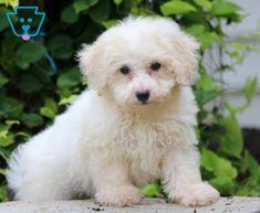 Moxie | Bichon Frise Puppy For Sale | Keystone Puppies Bichon Puppies For Sale, Best Pal, Bichon Frise, Design Development, Dogs, Animals, Animales, Animaux, Pet Dogs