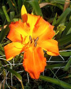 Primal Scream daylilly.. huge bright orange flowers.  Love!