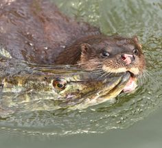 #Otter catches pike