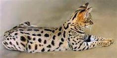 savannah cats pictures - Bing Images