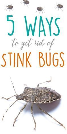 5 ways to get rid of Stink Bugs - Helpful tips for stink bug prevention.