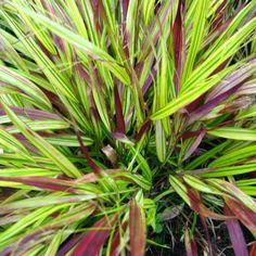 HAKONECHLOA macra 'Beni-kaze' (Herbe du Japon) : Graminée caduque formant une touffe de feuilles lisses et des panicules légères. C'est une herbe très décorative, à planter en sous-bois, dans une rocaille ou dans un massif. Elle se prête bien à la culture en pot. Feuillage vert prenant des teintes rouges en fin d'été et à l'automne.