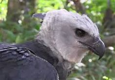 The #Harpy #Eagle can be seen in the #Summit #Zoo and botanical gardens in the Gamboa Rainforest. Harpy Eagles are nearly extinct.